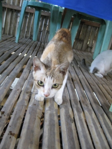 Philippine beggar kitty