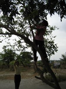 Nanay mango tree Philippines