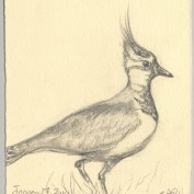 2010-1-17northernlapwing
