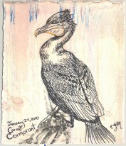 2010-1-24greatcormorant