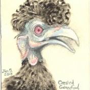 2010-1-5crestedguineafowl