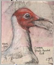 2010-2-9blackheadedgull