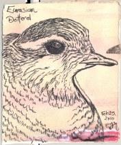 2010-2-25-eurasian-dotterel