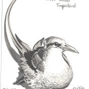 2010-2-27-white-tailed-tropicbird
