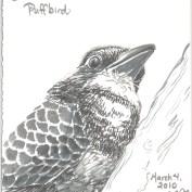 2010-3-4-blackbreasted-puffbird