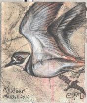 2010.3.11.Killdeer