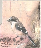 2010.3.13.Loggerhead.Shrike