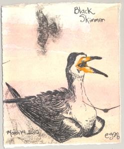 2010.3.14.Black.Skimmer