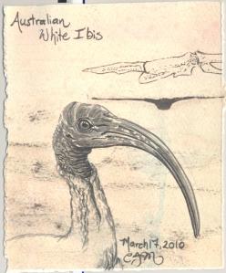 2010.3.17.Australian.White.Ibis