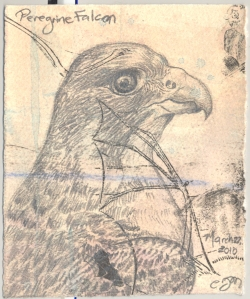 2010.3.22.Peregrine.Falcon