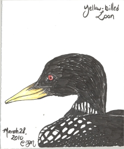 2010.3.28.Yellow.Billed.Loon