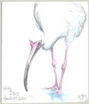 2010.3.29.White.Ibis