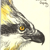 2010.3.31.California.Osprey