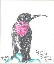 2010.4.10.Scarlet.Chested.Sunbird