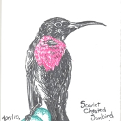 2010.4.10.Scarlet.Chested.Sunbird