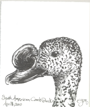 2010.4.11.South.American.Comb.Duck