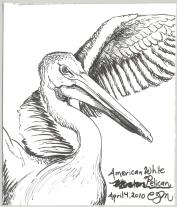 2010.4.14.American.White.Pelican
