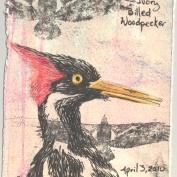 2010.4.2.Ivory.billed.Woodpecker