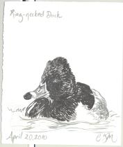 2010.4.20.RingNecked.Duck