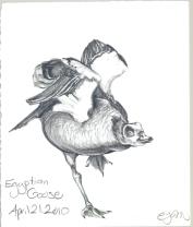 2010.4.21.Egyptian.Goose