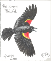 2010.4.25.Red.Winged.Blackbird