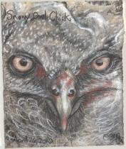 2010.4.26.Snowy.Owl.Chick