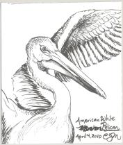 2010.4.4.American.White.Pelican