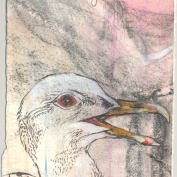 2010.4.6.Glaucous.winged.gull