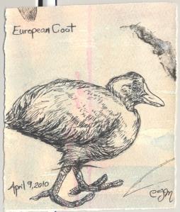 2010.4.9.European.Coot