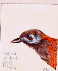 2010.5.13 Ocellated Antbird