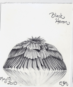 2010.5.15 Black Heron