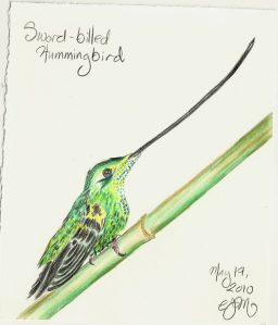 2010.5.19 Sword billed Hummingbird