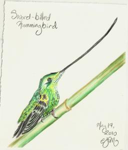 2010.5.19 Sword billed Hummingbird