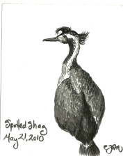 2010.5.21 Spotted Shag