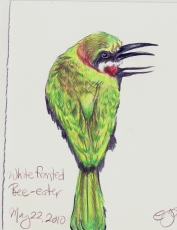 2010.5.22 Whitefronted Bee Eater