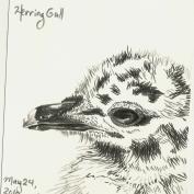 2010.5.24 Herring Gull