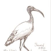 2010.5.4.Sacred.Ibis