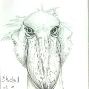 2010.5.9 Shoebill