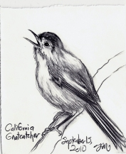 2010.9.15 California Gnatcatcher