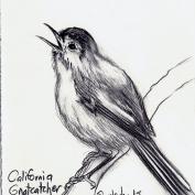 2010.9.15 California Gnatcatcher