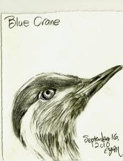 2010.9.16 Blue Crane