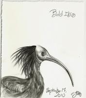 2010.9.17 Bald Ibis