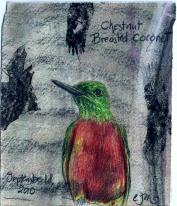 2010.9.18 Chestnut Breasted Coronet