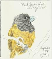2010.9.19 Black Headed Munia