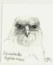 2010.9.22 Sparrowhawk