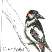2010.9.25 Great Spotted Woodpecker