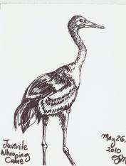 2010.5.26 Juvenile Whooping Crane
