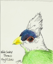 2010.5.28 White Crested Turaco