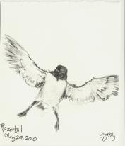 2010.5.29 Razorbill