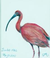 2010.5.31 Scarlet Ibis